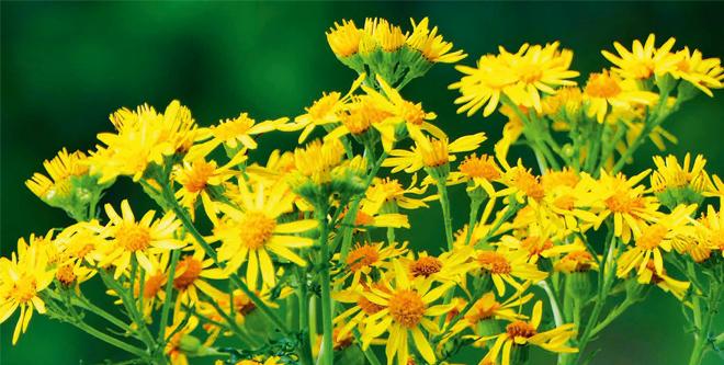 Jakobskreuzkraut und andere Giftpflanzen