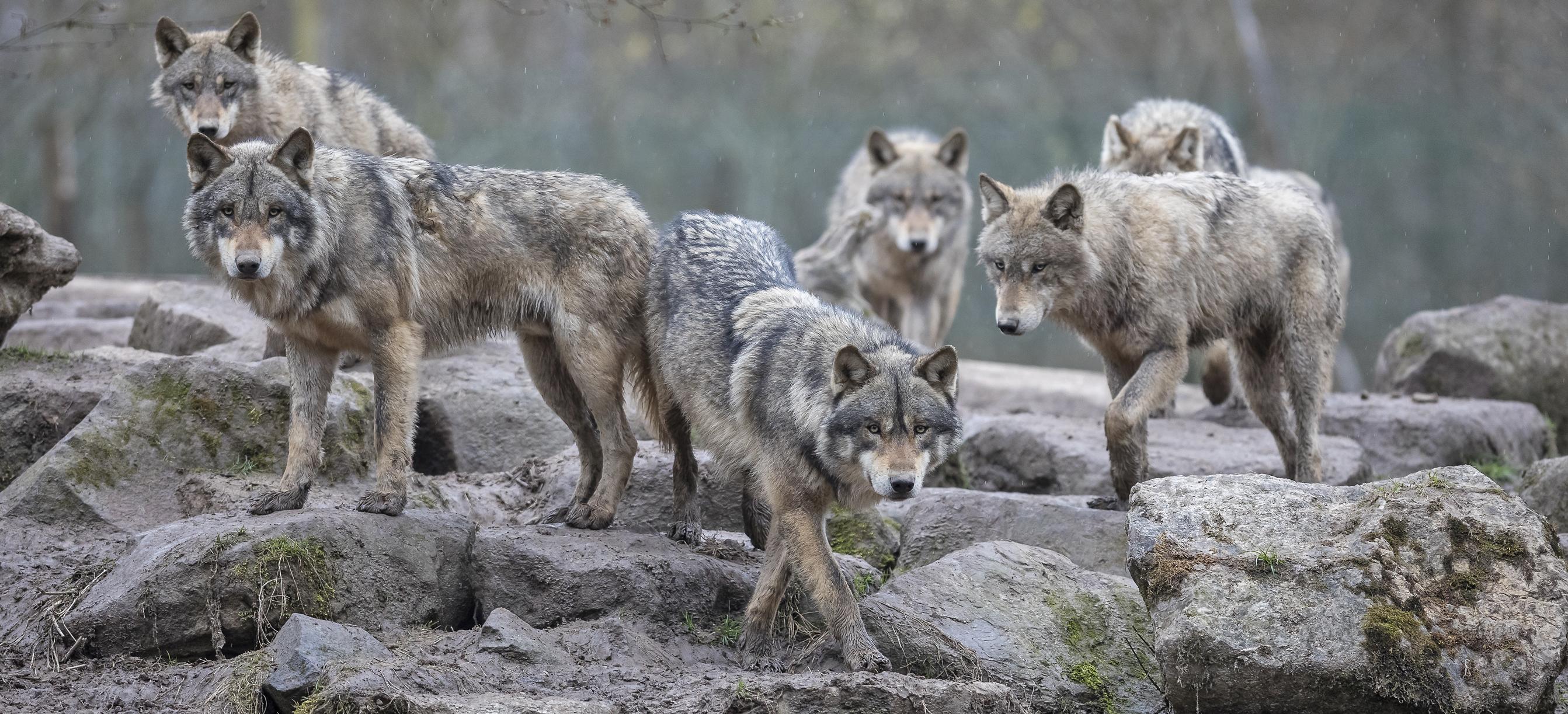 Ministerin Klöckner: Weidetiere vor dem Wolf schützen